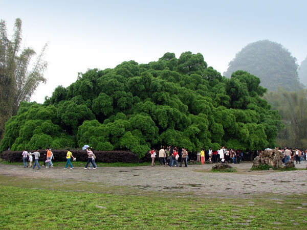 Guilin Big Banyan Tree